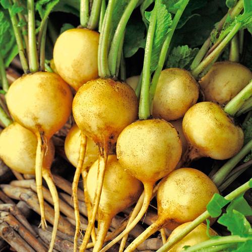 Radish 'Zlata' (Raphanus Sativus L.) Vegetable Plant Heirloom, 140-260 Seeds
