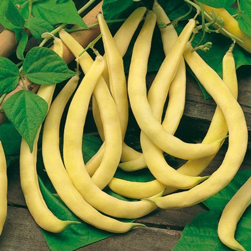Bean 'Fructidor' (Phaseolus Vulgaris L.) Organic Vegetable Plant Heirloom, 7-21 Seeds