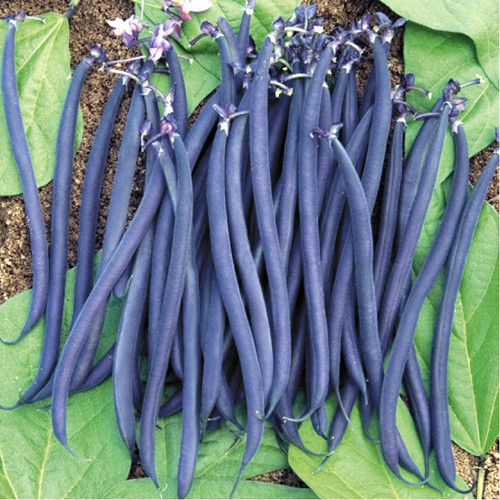 Bean 'Blauhilde' (Phaseolus Vulgaris) Vegetable Plant Heirloom, 60-100 Seeds