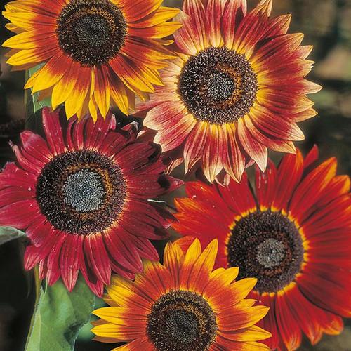 Sunflower 'Evening Sun' (Helianthus Annuus) Flower Plant Heirloom, 40-54 Seeds