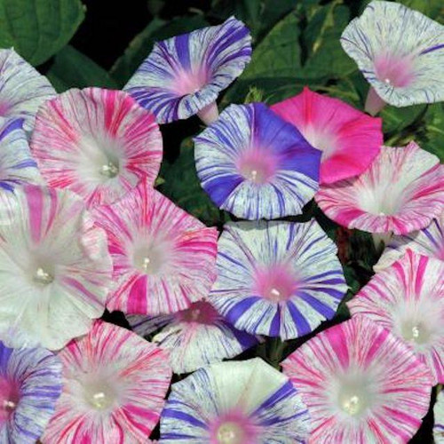 Morning Glory 'Harlequin Mix' (Ipomoea Purpurea) Flower Plant Heirloom, 20 Seeds