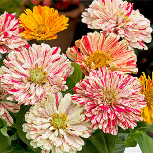 Zinnia 'Candy Stripe Mix' (Zinnia Elegans) Flower Plant Heirloom, 50 Seeds