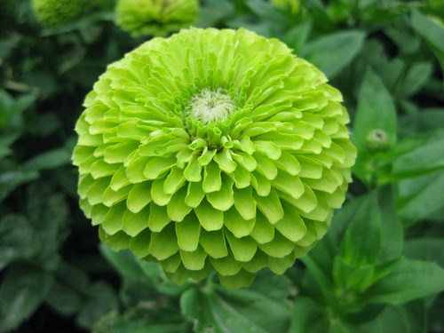 Zinnia 'Envy' (Zinnia Elegans) Flower Plant Heirloom, 50 Seeds