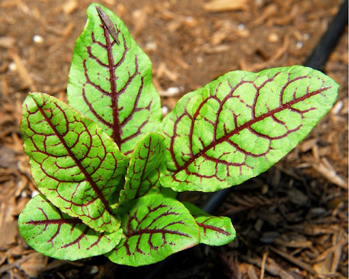 Sorrel 'Red Veined'  (Rumex Sanguineus) Vegetable Plant Heirloom, 800 Seeds