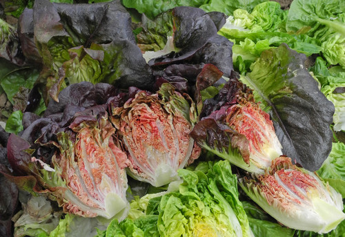 Lettuce 'Intred'  (Lactuca Sativa) Vegetable Plant Heirloom, 70-120 Seeds