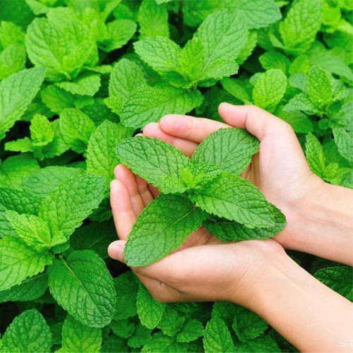 Melissa 'Lemon Balm' (Melissa Officinalis L.) Herbal Plant Heirloom,1600-2000 Seeds