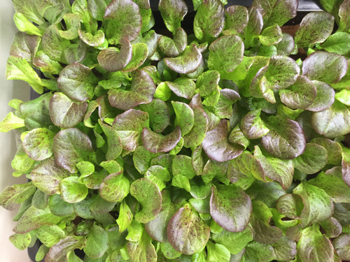 Lettuce 'Maiko'  (Lactuca sativa) Heirloom, 240-360 Seeds