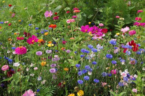 Annual Flower Mix 'Last Minute' Heirloom, 1g of Seeds