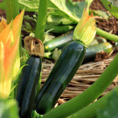 Zucchini 'Black Beauty' (Cucurbita pepo L.) Heirloom, 5 Seeds