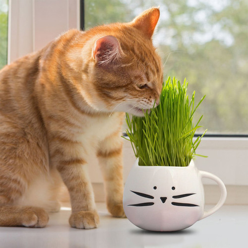 Grass For Cats, 4g Heirloom Seeds