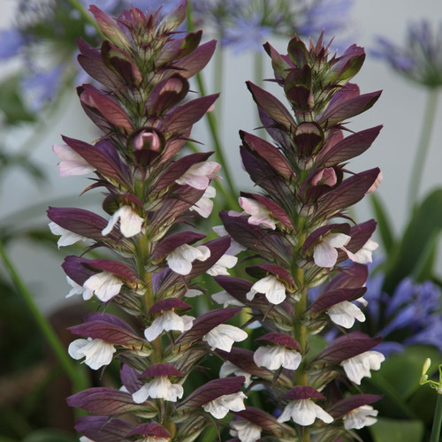 Acanthus (Acanthus Mollis) Flower Heirloom,