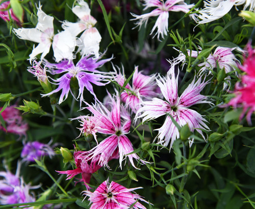 Carnation Chabaud, Dianthus 'Spooky' (Dianthus Superbus) Flower Heirloom, 280 Seeds