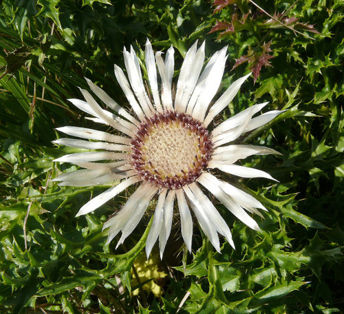 Carlina Stemless (Carlina Acaulis) Flower Heirloom, 20-25 Seeds