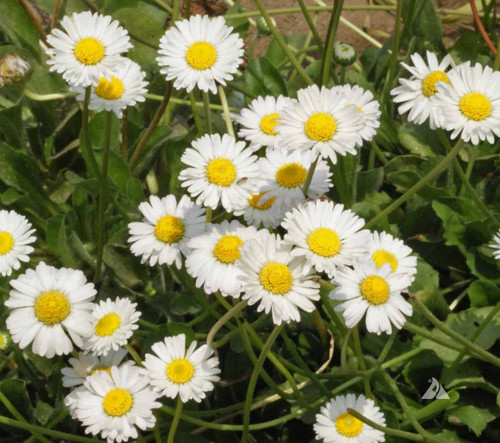 English Daisy 'White' (Bellis Perennis L.) Flower Heirloom, 60 Seeds
