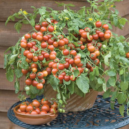 Tomato 'Bajaja' (Lycopersicon Esculentum) Determinate Vegetable Heirloom, 40-60 Seeds