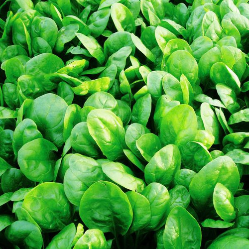 Baby Spinach  'Scorpio H' (Spinacia Oleracea L.) Vegetable, 300-400 Seeds