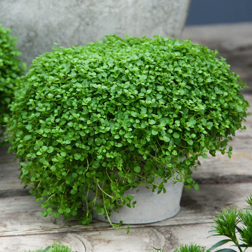Corsican Sweet Mini Mint  (Mentha Requienii) Herb Heirloom 20 Seeds