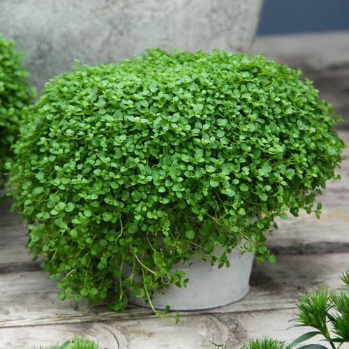 Corsican Sweet Mini Mint  (Mentha Requienii) Herb Heirloom 20 Seeds