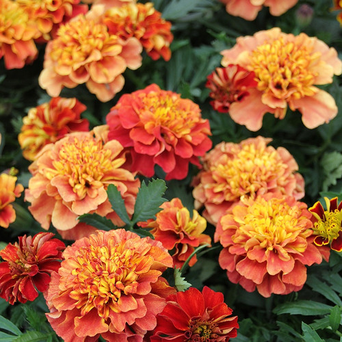 Marigold French 'Strawberry Blonde' (Tagetes Patula L.) Flower Heirloom, 30 Seeds