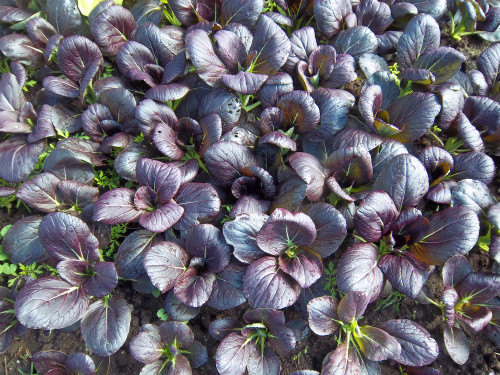 Chinese Cabbage, Bok Choy 'Arax' (Brassica Rapa L) Vegetable Heirloom, 260-310 Seeds