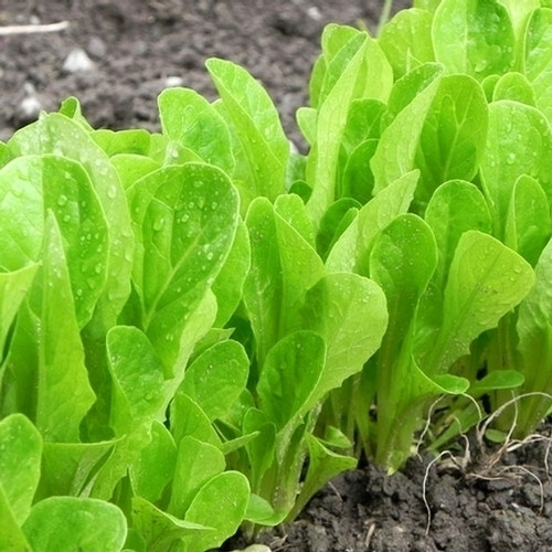Lettuce 'Osterley' (Lactuca Sativa) Baby Leaf Vegetable Heirloom, 350-600 Seeds