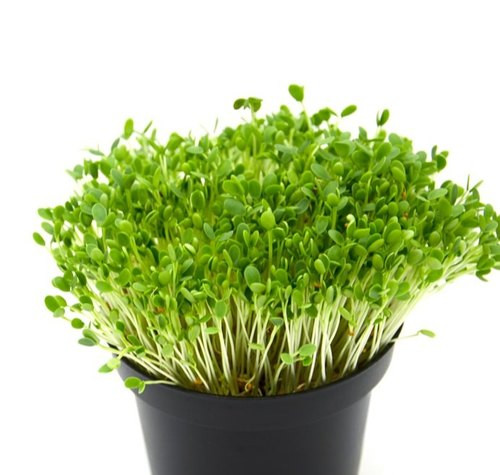 Fenugreek  Organic Microgreen (Trigonella foenum graecum L) Seeds, 10g