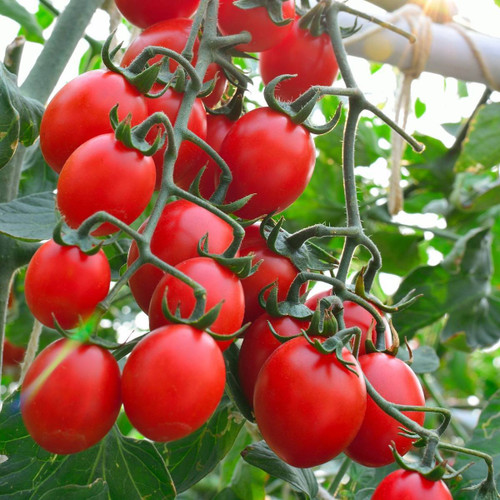 Tomato 'Principe Borghese' (Lycopersicon Esculentum) Determinate Vegetable Heirloom, 20-30 Seeds