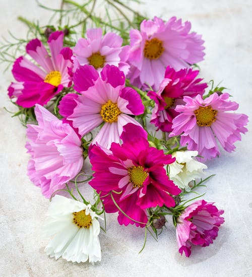 Garden Cosmos 'Sea Shells' (Cosmos Bipinnatus) Flower Plant Heirloom, 150 Seeds