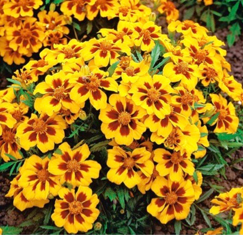 Marigold French 'Pascal' (Tagetes Patula L.) Flower Heirloom, 0.5g of Seeds