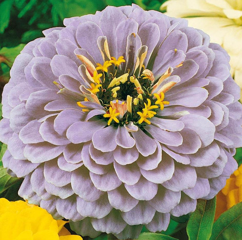Zinnia 'Dream' (Zinnia Elegans Dahlienflora) Flower Heirloom, 1g of  Seeds