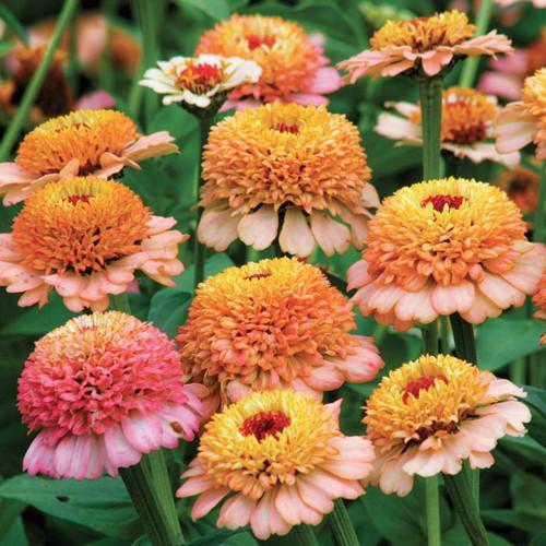 Zinnia 'Zinderella' (Zinnia Elegans Dahlienflora) Flower Heirloom, 20  Seeds