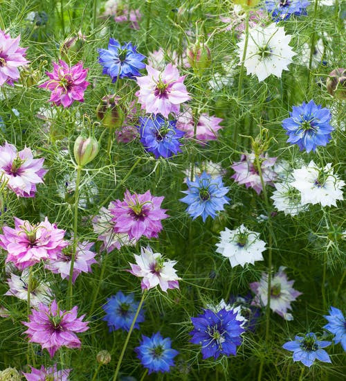 Love In A Mist 'Mix' (Nigella Damascena) Flower Heirloom, 0.5g of Seeds