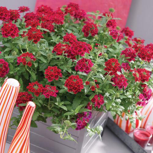 Verbena 'Quartz H Red' (Verbena Hybrida Voss) Flower 15 Seeds