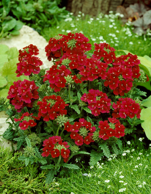 Verbena 'Quartz H Red' (Verbena Hybrida Voss) Flower 15 Seeds