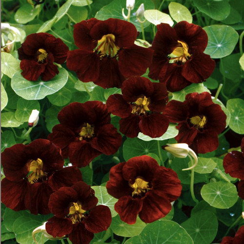 Copy of Nasturtium 'Black Velvet' (Tropaeolum Minus) Flower Plant Heirloom, 4-6 Seeds