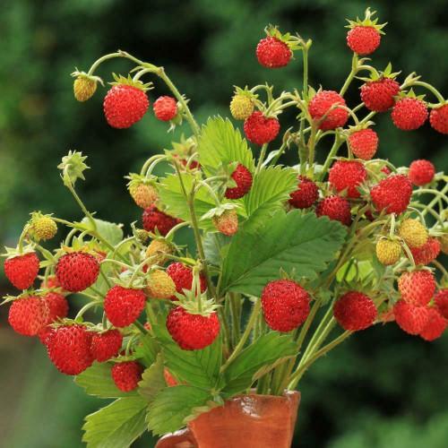 Wild Strawberry 'Baron Solemacher' (Fragaria Vesca) Heirloom,  200-320 Seeds