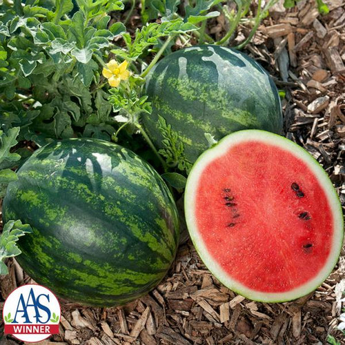Watermelon 'Mini Love H' (Citrullus lanatus) Fruit, 5 Seeds