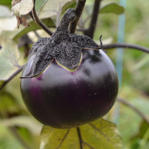 Eggplant 'Ronde De Valence' (Solanum melongena) Vegetable Heirloom,  100-110 Seeds