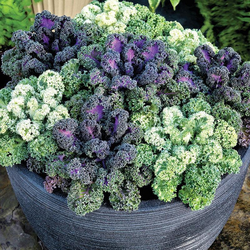 Kale Curly 'Kapral & Rednex'  Mix (Brassica Oleracea L.) Heirloom, 4m Tape