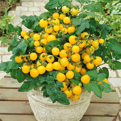 Cherry Tomato 'Balcony Yellow H' (Solanum Lycopersicum) Determinate Vegetable, 50-70 Seeds