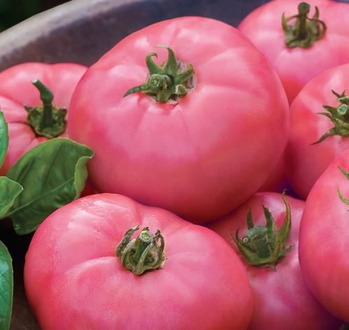 Tomato 'Pink Wonder' (Lycopersicon Esculentum) Indeterminate Vegetable (F1), 10 Seeds