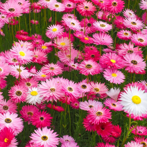 Paper Daisy 'Rose' (Helipterum roseum) Flower Heirloom, 20 Seeds