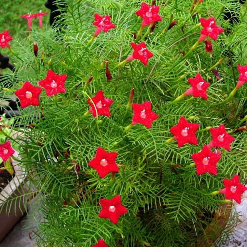 Flame Nasturtium, Cardinal Climber (Ipomea cardinalis) Flower Plant Heirloom, 0.5g of Seeds