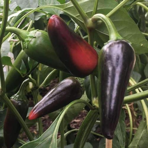 Pepper Hot 'Pot Black' (Capsicum annuum) Vegetable Heirloom, 5 Seeds