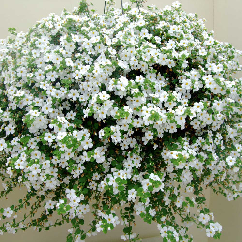 Bacopa 'Snowtopia White'(Sutera curdata) Flower Heirloom, 6 Seeds