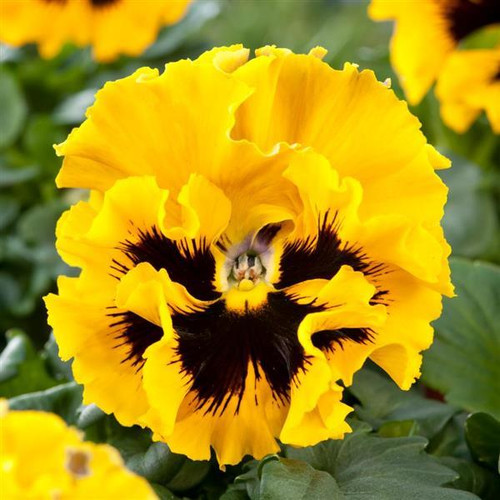 Pansy 'Frizzle Sizzle H Yellow' (Viola X Wittrockiana) Flower, 25 Seeds