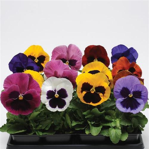 Pansy 'Aalsmeer Giants' (Viola X Wittrockiana) Flower, 30 Seeds