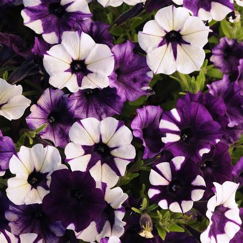 Petunia 'Shock Wave H Purple Tie Dye' (Petunia Hybrida) 6 Seeds