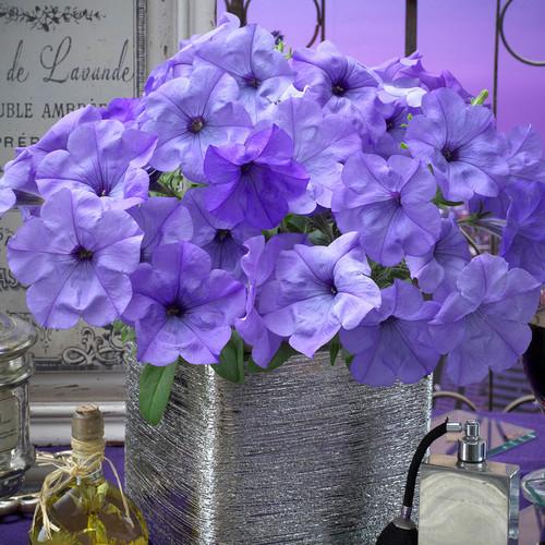 Petunia 'Evening Sensation' (Petunia Hybrida) 6 Seeds