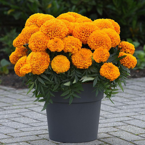 Marigold African 'Clinton' (Tagetes erecta L.) Flower Heirloom, 140-150 Seeds